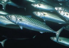 В Мраморном море появилась скумбрия, которой не было почти 40 лет