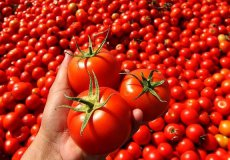 Импорт помидоров из Турции в Россию возобновится.
