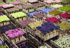 Красоту Аланьи обеспечивает городская «Цветочная фабрика»