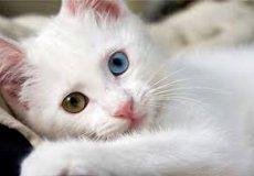 Ванских кошек больше нельзя будет вывозить из Турции