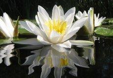 В июне в Турции расцветают белые водяные лилии, рвать их нельзя