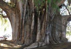 Тысячелетний кипарис — памятник природы
