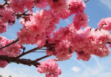 Февральский праздник цветения миндаля в Турции